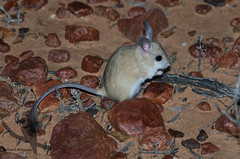 Dusky Hopping Mouse - Notomys fusca (Wildsearch) Tags: qld endangered mammals vulnerable threatenedspecies birdsville duskyhoppingmouse notomysfusca