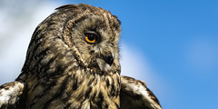 Archie (hehaden) Tags: surrey owl bwc longearedowl lingfield asiootus britishwildlifecentre