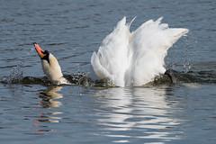 Mute Swan March 2016 (study 6) (jgsnow) Tags: bird swan waterbird muteswan