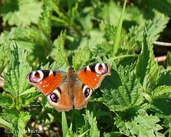 Colours ( Annieta ) Tags: netherlands butterfly spring sony ngc nederland papillon april mariposa lente allrightsreserved farfalla dagpauwoog vlinder 2016 krimpenerwaard coth annieta a6000 usingthispicturewithoutpermissionisillegal