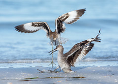 A Little Announcement (PeterBrannon) Tags: bird beach nature water florida wildlife northbeach fighting fortdesoto territorial shorebird willet tringasemipalmata