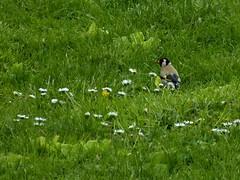 Chardonneret 04.2016 (ardoise08) Tags: ardennes argonne cardueliscarduelis europeangoldfinch stieglitz chardonneret vouziers jilgueroeuropeo
