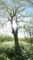 Arbre ferique sur lit de fleurs... (yoduc73) Tags: fleurs arbre printemps