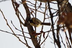 Kohlmeise (Huygens! aka GSatiFan) Tags: major tit great vogel rheinhafen parus kohlmeise