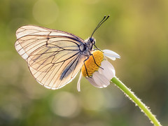 Backlighting (Ramn Menndez Covelo) Tags: world naturaleza flower macro verde nature butterfly bug contraluz insect outdoors wings eyes small flor olympus ojos alas margarita mariposa zuiko mundo bicho pequeo backlighting visipix