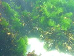Seaweed on the sea wall (Figgles1) Tags: seaweed beach snorkel south snorkeling algae fremantle groyne southbeach fsc southfremantle fremantlesailingclub p1020072