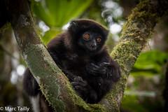 MarcTailly_mgb201508272863.jpg (hayastanlover) Tags: animals lemur mammals madagascar dieren primates ranomafana primaten zoogdieren