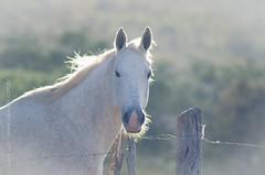 _DSC8661 (Izaias Lus) Tags: brasil caballos photography photographie cavalos equestrian equine nordeste chevaux equino haras equestre garanhunspe