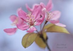 Malus Jay darling (Jane Dibnah Botanical Art) Tags: pink tree spring blossom selectivefocus macrophotography fruitblossom malus landscapeformat rhshydehall malusjaydarling