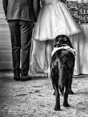I watch over you (southjerseseyhvac) Tags: wedding party people dog white black eye love beautiful true animal cake groom bride amazing couple married dress blind you watch over special guide opener guidedog unconditional chocking