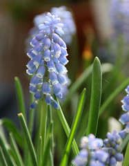 03-IMG_9875 (hemingwayfoto) Tags: balkon blau blume blte blhen traubenhyazinthe