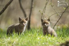 Attention c'est mignon ! (Les Frres des Bois) Tags: redfox sauvage vulpesvulpes renardeau renard vulpes renardroux canids