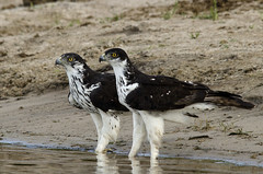 African Hawk-Eagle - Aquila spilogaster (lyn.f) Tags: river african botswana chobe hawkeagle aquilaspilogaster