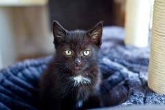 IMG_2723 (BalthasarLeopold) Tags: pet cats pets animal animals cat blackcat mammal kitten feline dof kittens felines blackcats indoorcat dephtoffield