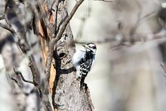 quabbinwinter2016-220 (gtxjimmy) Tags: wood winter bird water nikon massachusetts newengland valley quabbin tamron pecker foul supply ware belchertown quabbinreservoir d7100 150600mm nikond7100