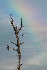 Osprey Under the Rainbow (stephaniepluscht) Tags: bon river rainbow alabama osprey 2016 secour