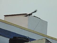 Bird Watching - Classic Take Off - Black Beauty (sureba67) Tags: nature crows birdwatching blackbeauty birdinflight skywatch birdtakeoff sureba67 niftybaba babusuresh