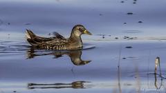 Sora (Bob Gunderson) Tags: california birds northerncalifornia rails eastbay sora alamedacounty porzanacarolina arrowheadmarsh canoneos7dmarkii