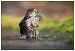 Eurasian Sparrowhawk (male) - Sperwer (man) - Accipiter nisus (Martha de Jong-Lantink) Tags: kalmthout 2015 accipiternisus sperwerman eurasiansparrowhawkmale glenvermeersch hut8kalmthout hut8vanglennvermeersch
