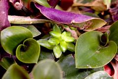 DSC_0469 (Paolo Serafino) Tags: plant succulent crassula ovata