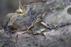 Ant Haul _0397 (hkoons) Tags: peru latinamerica southamerica america libertad amazon rainforest warm country spanish jungle ants tropical tropics humid peruvian amazonrainforest amazonbasin sevennaturalwondersoftheworld loretoregion
