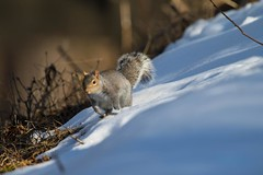 7K8A2428 (rpealit) Tags: nature field squirrel scenery wildlife gray east alumni hatchery hackettstown