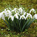Galanthus / Snowdrop / Schneeglöckchen