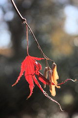 Hanging On (gerry.bates) Tags: trees nature leaf maple flora branch bokeh backlit seedpods vandusenbotanicalgardens