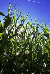 Maize (jonathan charles photo) Tags: colour art field photo corn jonathan harvest charles maize sweetcorn gourvillette
