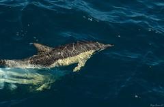 Delfn comn (Delphinus delphis) (Diego BravoG) Tags: marine mammals delfn marinos mamferos odontocetos cetcea