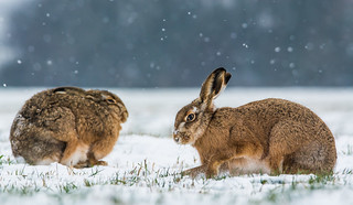 Brown Hares ~ explored