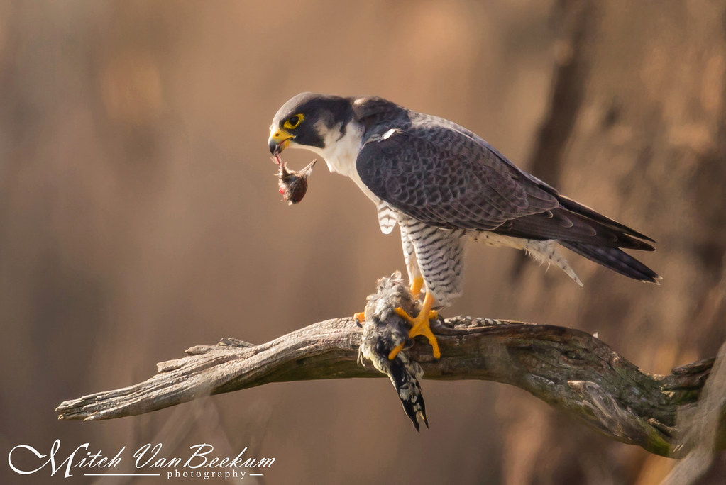 The Beheading of a Sapsucker (Peregrine Falcon)