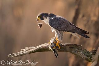 The Beheading of a Sapsucker (Peregrine Falcon)