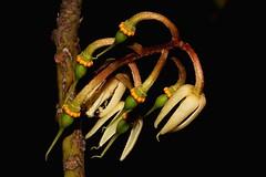 Elaeocarpus grandis (andreas lambrianides) Tags: nsw qld australianflora australiannativeflowers australiannativeplants quandong elaeocarpaceae elaeocarpusangustifolius elaeocarpusgrandis arfp australianrainforests australianrainforestplants eleocarpus nswrfp qrfp whitequandong australianrainforestflowers arfflowers whitearfflowers tropicalarf subtropicalarf tropicalrainforestflowers elaeocarpusdrymophilus silversilverquandongcoolanquandongwhitequandongindianoilfruitgenitrifig bluecooloonbrushquandongbrisbanequandongblueberryashbluequandongbluefigash blueberryquandong bluecaloon
