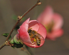 a winter honeybee in pink (Vicki's Nature) Tags: winter flower macro closeup yard canon georgia insect december dof blossom bokeh bee pollen honeybee s5 floweringquince touchofyellow 2523 vickisnature
