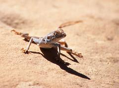 Sinai agama (Pseudotrapelus sinaitus), Petra (Niall Corbet) Tags: blue desert petra middleeast lizard jordan agama pseudotrapelussinaitus sinaiagama