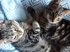 Cuddlying Kittens ! (Mara 1) Tags: blue cats pets animals eyes faces kittens whiskers indoors blanket paws