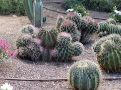 Ferocactus (amantedar) Tags: cactus spain catalonia ferocactus cactusgarden caproig jardinsdecaproig