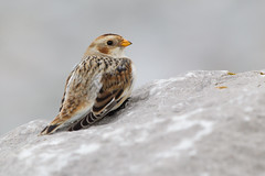 Snow bunting (Andy Davis Photography) Tags: bird beach canon perched bunting snowbunting plectrophenaxnivalis explored