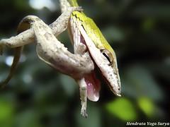Struggling (Hendrata Yoga Surya) Tags: animal snake greenwhipsnake greenvinesnake ularpucuk orientalgreenwhipsnake lowtoxicgreensnake