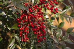 Heavenly Bamboo (Fiddling Bob) Tags: red plants berries pineneedles m42 nandina heavenlybamboo supertakumar10528