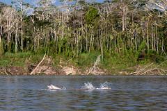 Dolphins on the Amazon _0227 (hkoons) Tags: peru latinamerica southamerica america libertad amazon rainforest warm dolphin country spanish jungle dolphins tropical tropics itaya humid amazonas peruvian freshwater nanay amazonrainforest amazonbasin freshwaterdolphins sevennaturalwondersoftheworld loretoregion