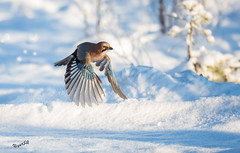 Start (MatsOnni) Tags: winter birds linnut eurasianjay garrulusglandarius abigfave närhi