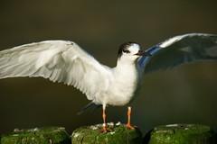 Fluss-Seeschwalbe (most.4711) Tags: zoo topv333 bokeh klnerzoo 333v3f sonya99 tamronsp150600diusd