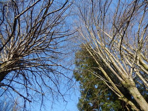 Looking up at trees, 2016 Feb 28
