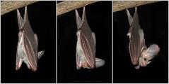 Horned Bat (Mary Faith.) Tags: park animal collage mammal zoo nocturnal bat sydney taronga horned