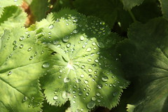 Summer Raindrops (mcginley2012) Tags: ireland green nature closeup droplets raindrops waterdrops ladysmantle