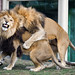 Lion Brothers Playing Together with Funny Face