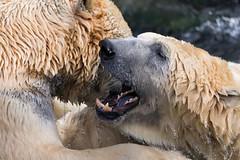 Polar Bears (patrickmai875) Tags: blue white cold nature water canon fur wasser power bears natur sigma national ng polar blau kalt fell geographic kraft 6d weis eisbren 150600mm