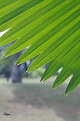 Palm leaf (usov.usov) Tags: leaf singapore palm